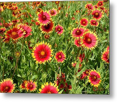 Metal Print featuring the photograph Wild Red Daisies #4 by Robert ONeil
