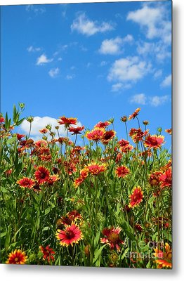 Metal Print featuring the photograph Wild Red Daisies #5 by Robert ONeil