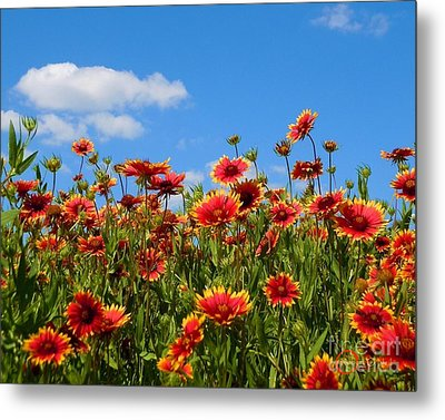 Metal Print featuring the photograph Wild Red Daisies #7 by Robert ONeil
