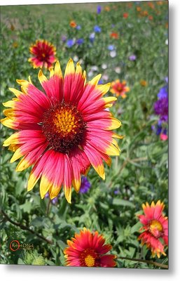 Metal Print featuring the photograph Wild Red Daisy #1 by Robert ONeil