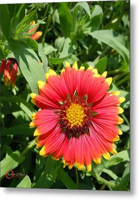 Metal Print featuring the photograph Wild Red Daisy #2 by Robert ONeil
