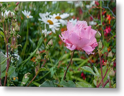 Metal Print featuring the photograph Wild Rose by Sergey Simanovsky
