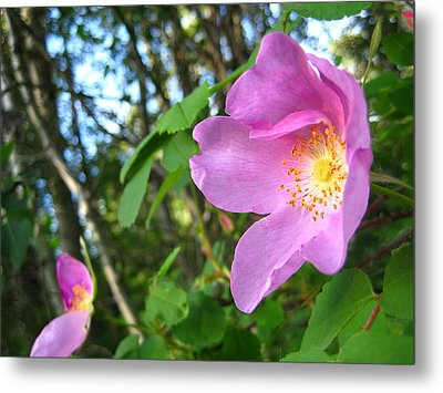 Wild Rose Metal Print by Shirley Sirois