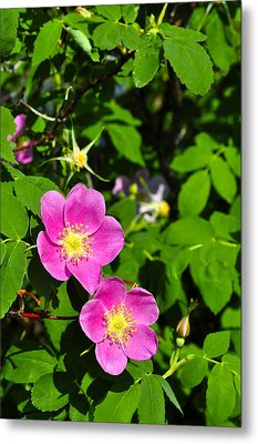 Metal Print featuring the photograph Wild Roses by Cathy Mahnke