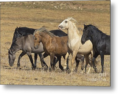 Wild Stallion Herd Pryor Mountain Metal Print