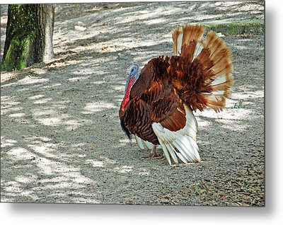 Wild Turkey Metal Print by Aimee L Maher Photography and Art Visit ALMGallerydotcom