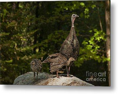 Wild Turkey And Chicks Metal Print