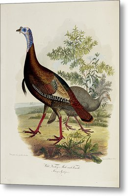 Wild Turkey Metal Print by British Library