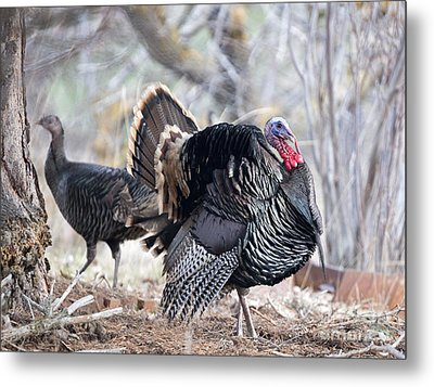 Wild Turkey Display Metal Print