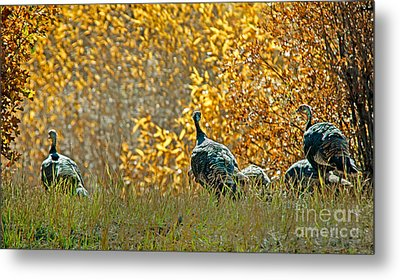 Wild Turkeys And Fall Colors Metal Print by Robert Bales