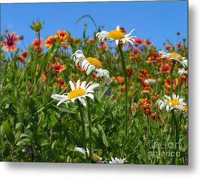 Metal Print featuring the photograph Wild White Daisies #1 by Robert ONeil