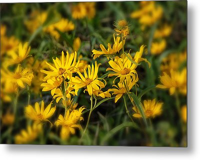 Metal Print featuring the photograph Wild Yellow Daisies by Susan D Moody