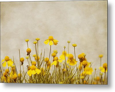 Wildflower Daisies Metal Print by Kim Hojnacki