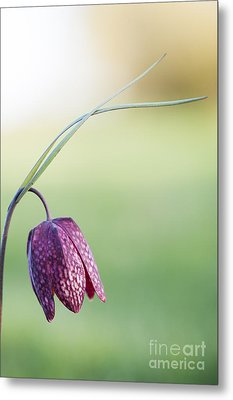 Wildflower Snakes Head Fritillary Metal Print