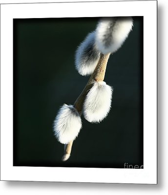 Metal Print featuring the photograph Willow On Black by Liz  Alderdice