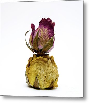 Wilted Rose Metal Print by Bernard Jaubert