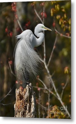 Wind In His Feathers Metal Print by Kathy Baccari