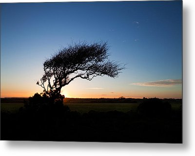 Wind Sculptured Hawthorn Tree, The Metal Print by Panoramic Images