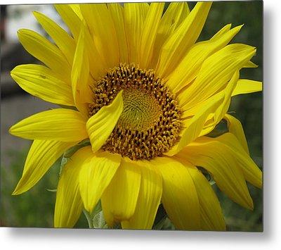 Windblown Sunflower Three Metal Print