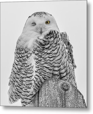 Winking Snowy Owl Black And White Metal Print