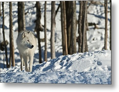Metal Print featuring the photograph Winter Arctic Wolf by Wolves Only