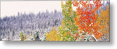 Winter, Aspens, Usa Metal Print by Panoramic Images