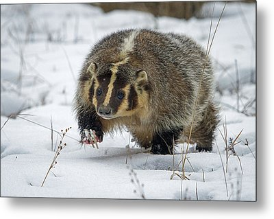 Metal Print featuring the photograph Winter Badger by Jack Bell