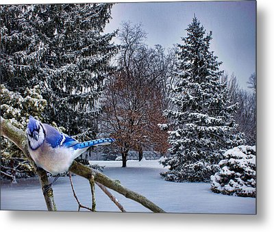 Winter Blue Jay Metal Print by Ron Grafe