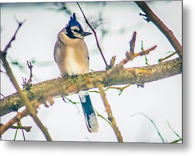 Winter Blue Jay Metal Print by Sara Frank