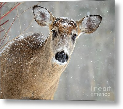 Winter Buck Metal Print by Amy Porter