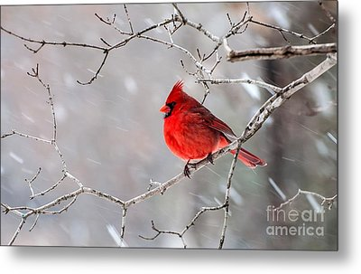 Winter Cardinal Metal Print by Debbie Green
