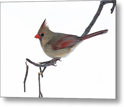 Winter Cardinal II Metal Print