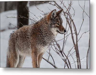 Winter Coyote Metal Print