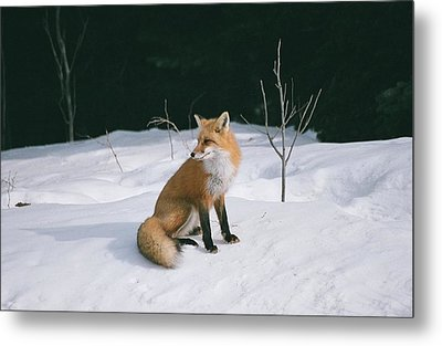 Metal Print featuring the photograph Winter Fox by David Porteus