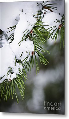 Winter Pine Branches Metal Print by Elena Elisseeva