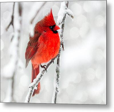 Metal Print featuring the photograph Winter Red by Jaki Miller