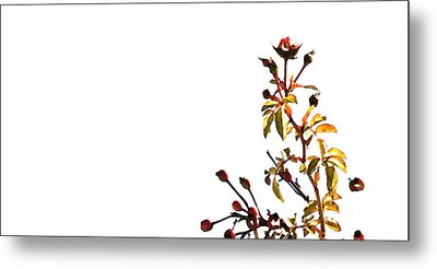 Metal Print featuring the photograph Winter Rose by Linda Shafer