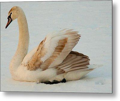 Winter Swan Song Metal Print by Bruce Carpenter