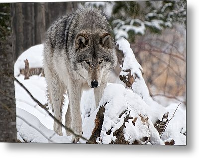 Metal Print featuring the photograph Winter Timber Wolf by Wolves Only