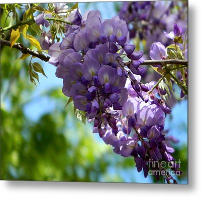 Wisteria Metal Print by Andrea Anderegg