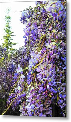 Metal Print featuring the photograph Wisteria - Fun Version 2 by Jodie Marie Anne Richardson Traugott          aka jm-ART