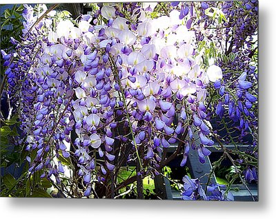 Metal Print featuring the photograph Wisteria by Jodie Marie Anne Richardson Traugott          aka jm-ART