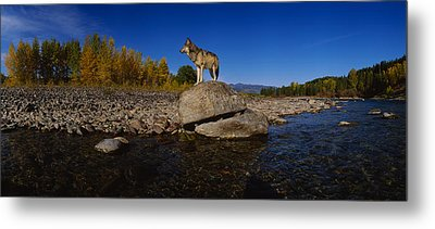 Wolf Standing On A Rock Metal Print