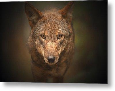 Wolf Stare Metal Print by Karol Livote