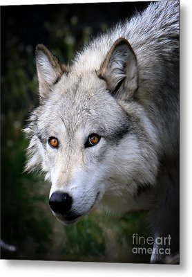 Metal Print featuring the photograph Wolf Stare by Steve McKinzie