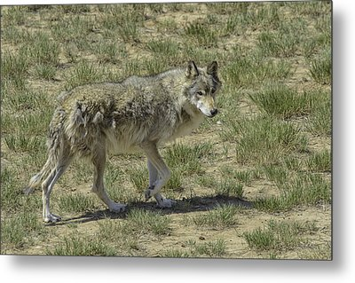 Wolf Metal Print by Tom Wilbert