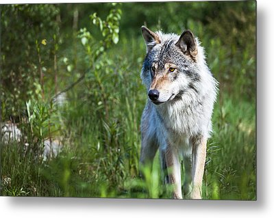 Metal Print featuring the photograph Wolf by Yngve Alexandersson