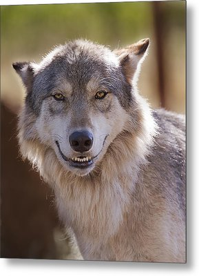 Metal Print featuring the photograph Wolf's Smile  by Brian Cross