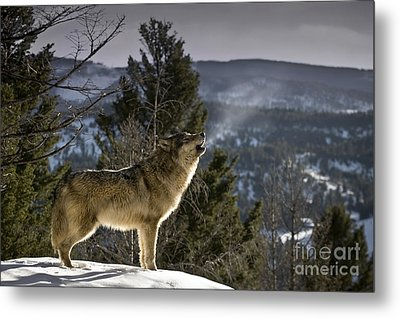Wolves Nature Song Metal Print by Wildlife Fine Art