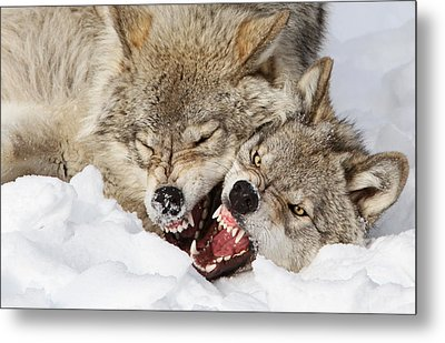 Wolves Rules Metal Print by Mircea Costina Photography